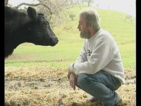 Jessi, mucca fuggita da un camion