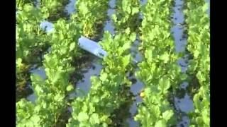 सरसों की वैज्ञानिक खेती से मिलेगा फायदा