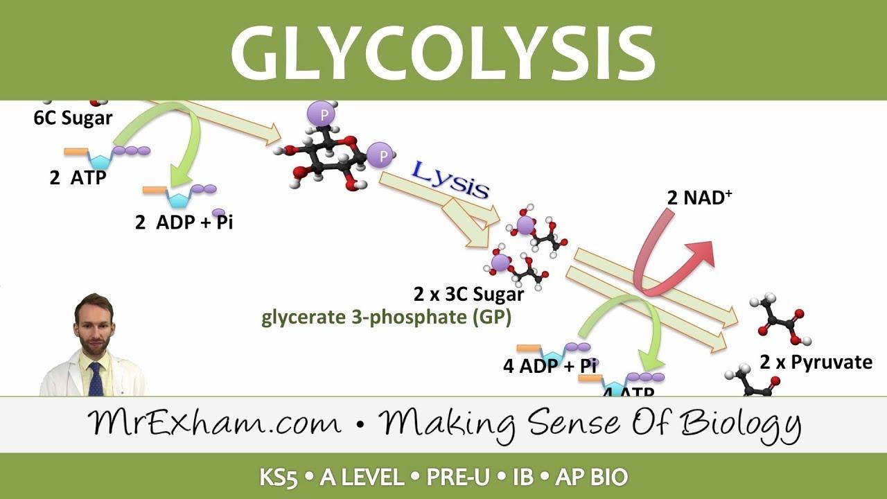 cellular respiration glycolysis post 16 biology a level pre u ib ap bio  [ 1280 x 720 Pixel ]