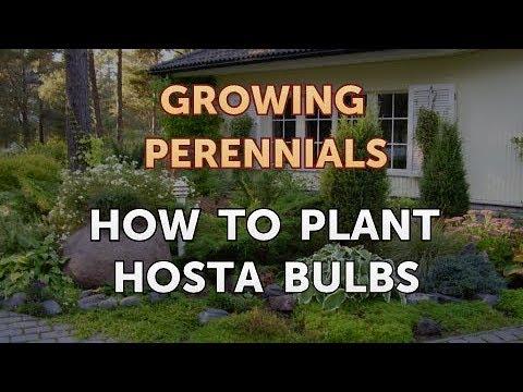 How To Plant Hosta Bulbs Youtube