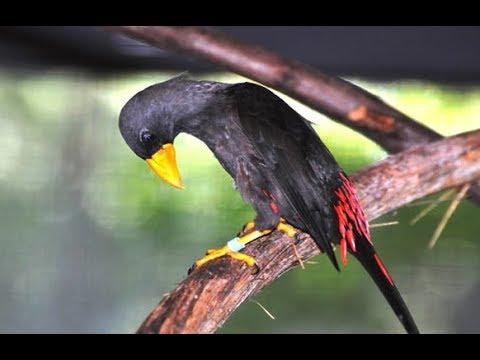 Tembakan Burung Rio Rio Gacor Sambil Joget