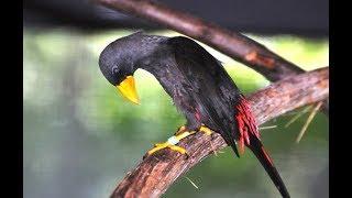 Download Tembakan Burung Rio Rio Gacor Sambil Joget Mp3
