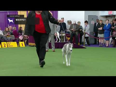 Whippets | Breed Judging 2019