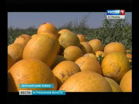 Астраханские фермеры приступили к сбору самого популярного сорта дынь