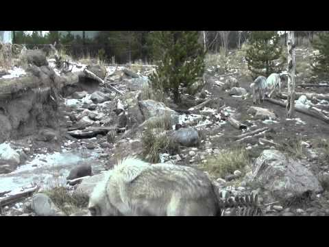 Wolves, West Yellowstone, Montana