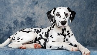 "Хочу собаку. Далматин | Телеканал ""Мама"""