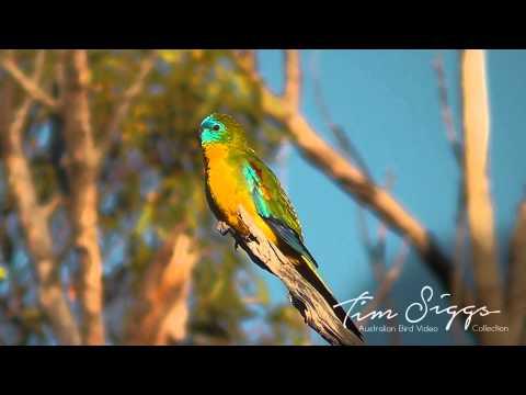 Turkquoise  Parrot Neophema pulchella HD Video 1/1