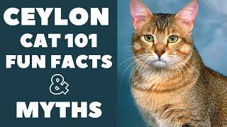 Ceylon Cats 101 : Fun Facts & Myths