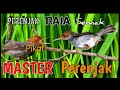 Pikat Perenjak Kepala Merah Raja Semak Anti Zonk Cocok Buat Masteran  Mp3 - Mp4 Download