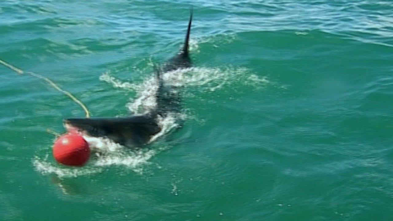 Great White Shark Attacks Bait | Deadly 60 | Earth Unplugged