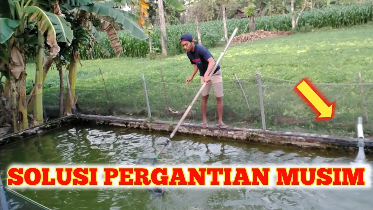 Cara Merawat Kolam Ikan Gurame Saat Pergantian Musim Putra Gurame的youtube视频效果分析报告 Noxinfluencer