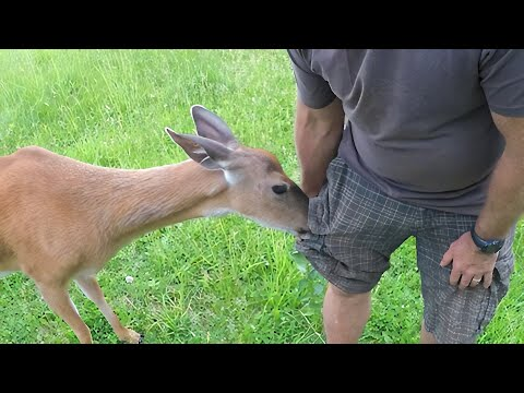 Stealthy Wild Deer Incredibly Pickpockets This Man For Corn