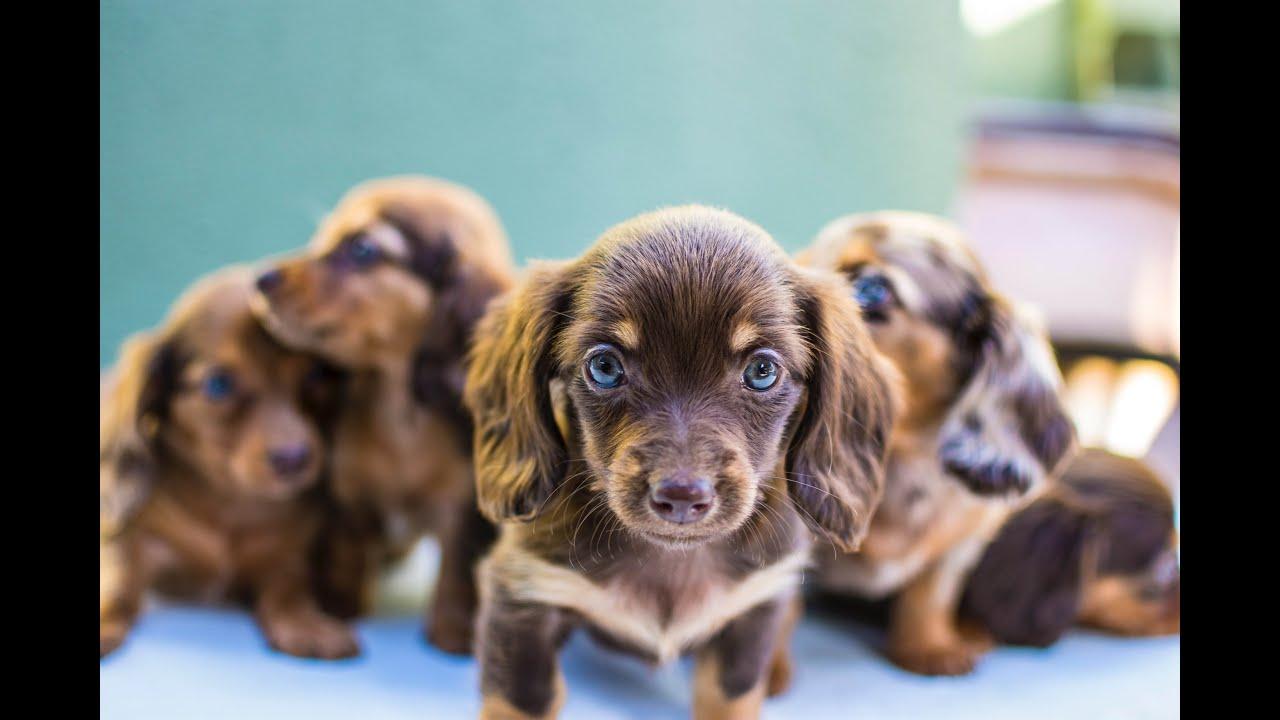 Miniature Dachshund Puppies YouTube