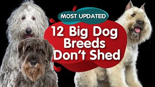 Top 12 Big Dog Breeds That Dont Shed (Febuary 2021)