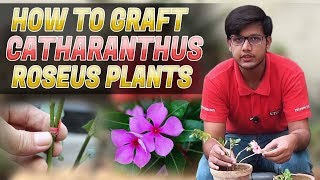 How to graft Sadabahar - Vinca Rosea- Catharanthus Roseus Plants In (urdu/Hindi)