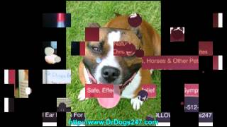 American Pit Bull Terriers.mp4