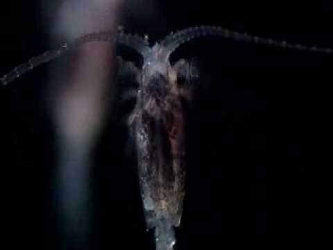 Copepods flash and discharge depth charges in the darkness to confuse predators