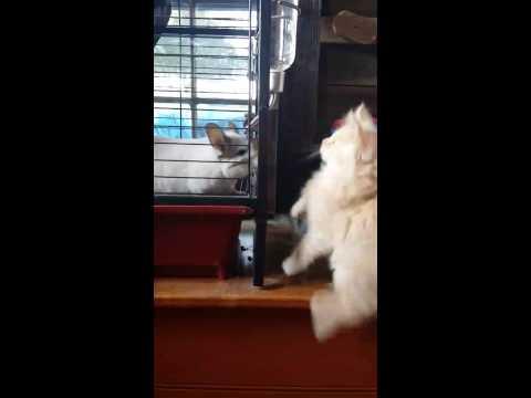 Maine coon kitten meets chinchilla