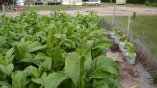 Tobacco Farming in Brainerd Minnesota!!!!!!!!