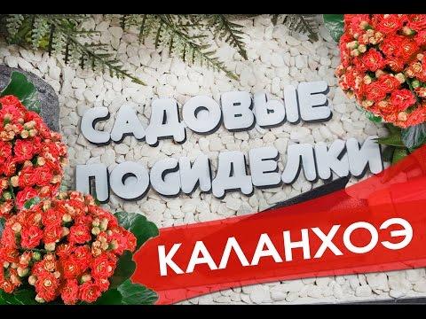 Каланхоэ - секреты ухода и выращивания в домашних условиях. Почему не цветет и желтеют листья.