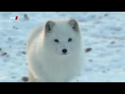 Tiere der Arktis - Polarfuchs, Eisbär, Schneehase und Co. Doku