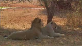 Lioness not impressed