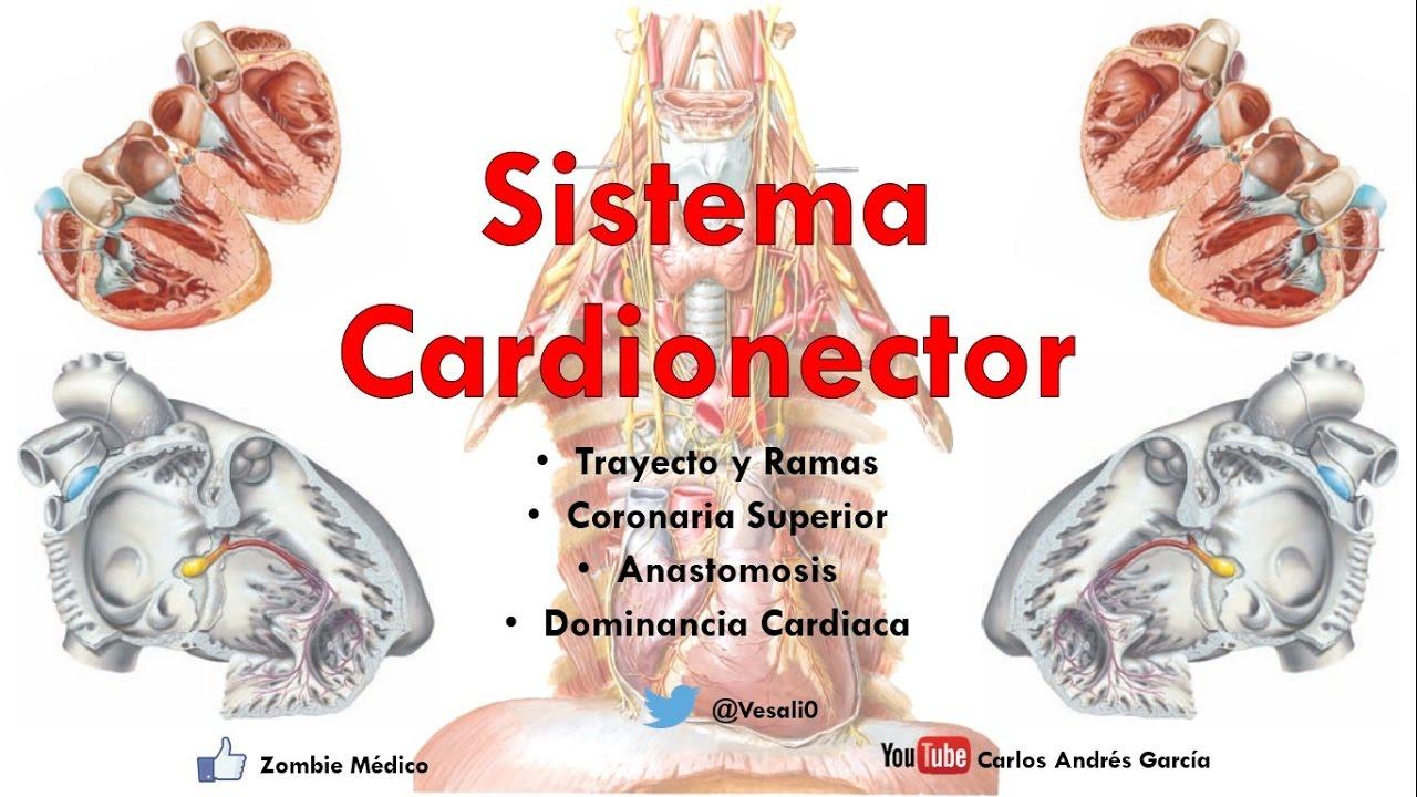 Anatomía - Sistema Cardionector e Inervación (Tractos Internodales ...
