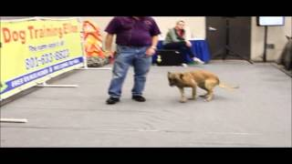 Protection Dog Demo - Koda Performing An Escort