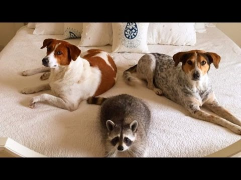 Rescued Baby Raccoon Pumpkin Acts Just Like His Dog Siblings