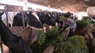 Thực hiện nghị quyết: Huyện Vân Hồ phát triển chăn nuôi bò sữa