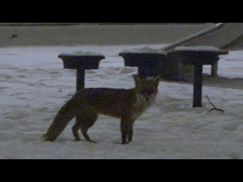 Red Fox Yellow Snow! Hackney Central - London Wildlife - Vulpes vulpes