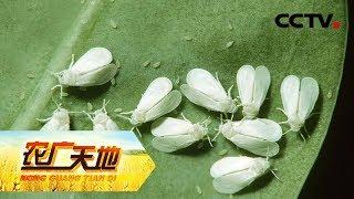 《农广天地》 20190625 防控温室白粉虱的秘密| CCTV农业