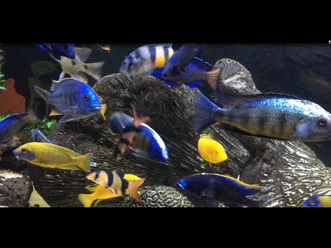 Monster 340 Gallon African Cichlids- All Male Hap and Peacock Show Tank