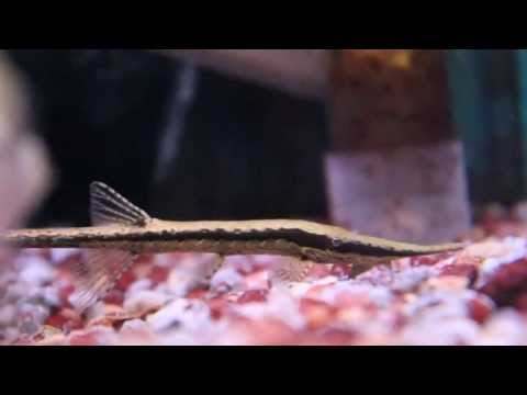 Farlowella Catfish aka Whiptail, or Twig Catfish from YouTube · High Definition · Duration:  2 minutes 6 seconds  · 291 views · uploaded on 12/12/2016 · uploaded by Dan Hiteshew