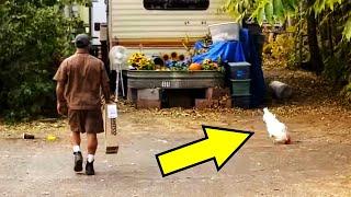 Хитрый петух заманивает почтальонов во двор и дальше происходит что то невероятное