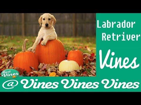 *NEW* Labradors Are AWESOME: Funny Labrador Retriver Compilation | Best Clips Ever !