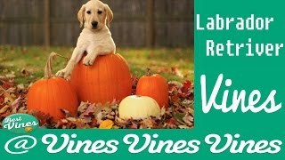 *new* Labradors Are Awesome: Funny Labrador Retriver Vines Compilation | Best Clips Ever ! 2015