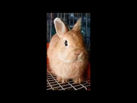 กระต่ายแคระ (สีส้ม) Netherland Dwarf (orange) - Allawa Rabbit Farm