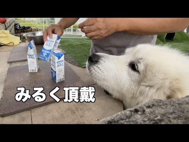 わんこ用ミルクはお気に入り