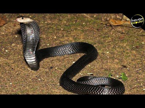 TAK TERTANDINGI, Inilah Jenis Ular Kobra Paling Berbahaya U0026 Mematikan Di Dunia