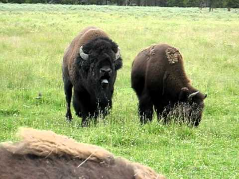 Bull Bison Issues a Warning at Yellowstone National Park