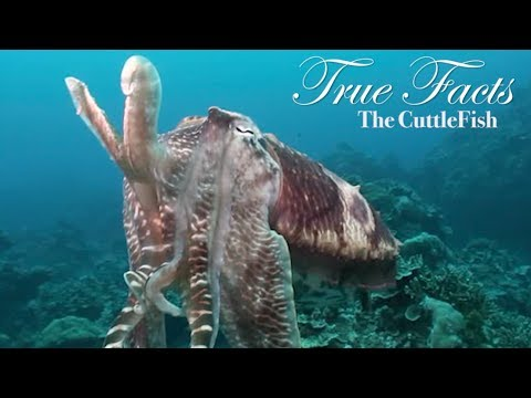 True Facts About The CuttleFish - YouTube