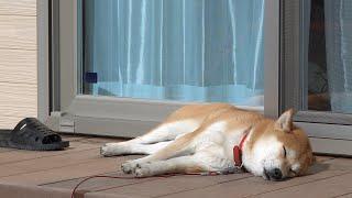 柴犬タロウと家族の日記。 寒くなりました。日向ぼっこをするタロウ。 Shiba Inu taking a nap #柴犬 #ShibaInu.