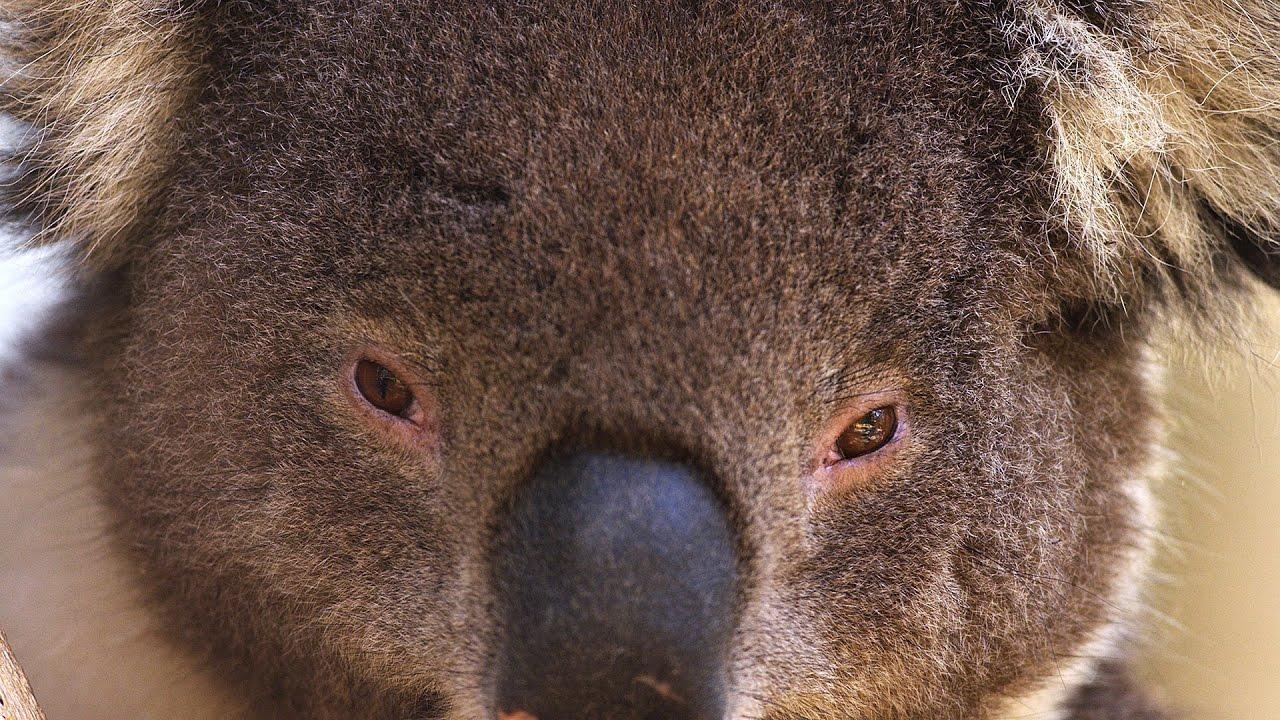 super cute australian animals 4k
