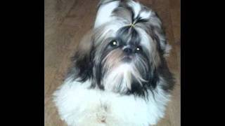 Bindy Shih Kennel - Shih Tzu - The Perfect Breed!