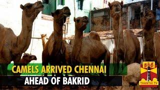 Camels Arrived to Tamil Nadu Ahead of Bakrid - Thanthi TV