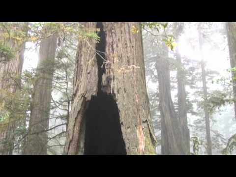 HUGE Redwood Trees in Orick California by Robert (Vegas Bob) Swetz 9-24-2011