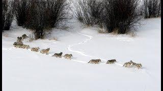 wolves-many-many-wolves