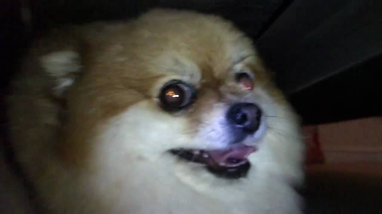 fat pomeranian angry fat dog under a bed youtube 6834