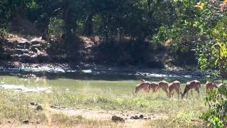 Spotted Deer Herd at Sathyamangalam Forests in Eastern Ghats